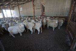 sheep Cunnamulla