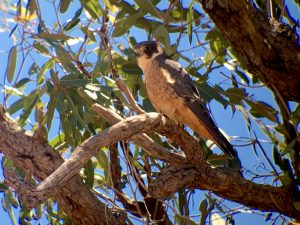Birds, Australian native birds, Twitchers, Raptor, Birdwatching, Cunnamulla, Club Boutique Hotel Cunnamulla, Cunnamulla Accommodation, Cunnamulla Restaurant